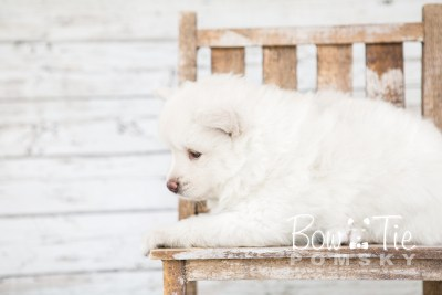 puppy17 BowTiePomsky.com Bowtie Pomsky Puppy For Sale Husky Pomeranian Mini Dog Spokane WA Breeder Blue Eyes Pomskies photo13