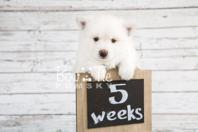 puppy17 BowTiePomsky.com Bowtie Pomsky Puppy For Sale Husky Pomeranian Mini Dog Spokane WA Breeder Blue Eyes Pomskies photo15