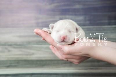 puppy17 BowTiePomsky.com Bowtie Pomsky Puppy For Sale Husky Pomeranian Mini Dog Spokane WA Breeder Blue Eyes Pomskies photo4