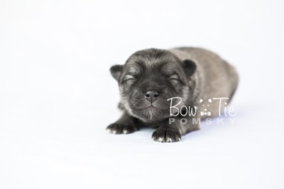 puppy18 BowTiePomsky.com Bowtie Pomsky Puppy For Sale Husky Pomeranian Mini Dog Spokane WA Breeder Blue Eyes Pomskies photo1