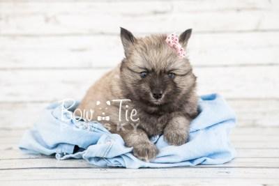 puppy18 BowTiePomsky.com Bowtie Pomsky Puppy For Sale Husky Pomeranian Mini Dog Spokane WA Breeder Blue Eyes Pomskies photo14