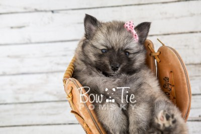 puppy18 BowTiePomsky.com Bowtie Pomsky Puppy For Sale Husky Pomeranian Mini Dog Spokane WA Breeder Blue Eyes Pomskies photo15