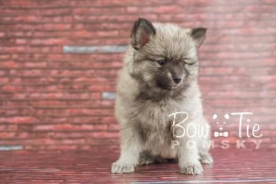 puppy18 BowTiePomsky.com Bowtie Pomsky Puppy For Sale Husky Pomeranian Mini Dog Spokane WA Breeder Blue Eyes Pomskies photo18