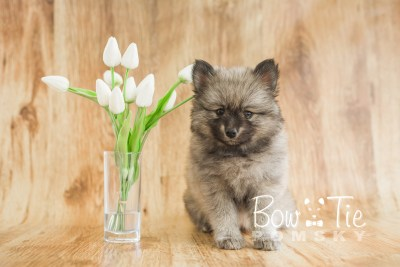 puppy18 BowTiePomsky.com Bowtie Pomsky Puppy For Sale Husky Pomeranian Mini Dog Spokane WA Breeder Blue Eyes Pomskies photo22