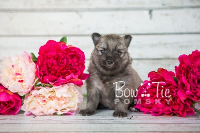 puppy18 BowTiePomsky.com Bowtie Pomsky Puppy For Sale Husky Pomeranian Mini Dog Spokane WA Breeder Blue Eyes Pomskies photo9