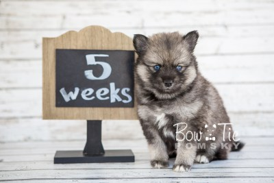 puppy19 BowTiePomsky.com Bowtie Pomsky Puppy For Sale Husky Pomeranian Mini Dog Spokane WA Breeder Blue Eyes Pomskies photo13