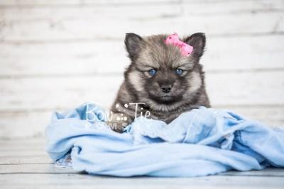 puppy19 BowTiePomsky.com Bowtie Pomsky Puppy For Sale Husky Pomeranian Mini Dog Spokane WA Breeder Blue Eyes Pomskies photo15