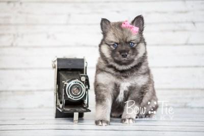 puppy19 BowTiePomsky.com Bowtie Pomsky Puppy For Sale Husky Pomeranian Mini Dog Spokane WA Breeder Blue Eyes Pomskies photo16
