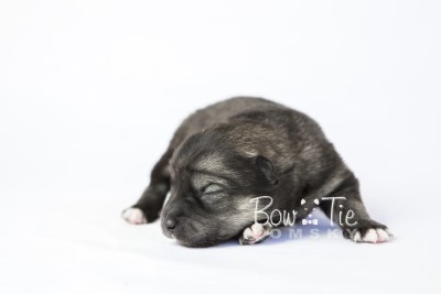 puppy19 BowTiePomsky.com Bowtie Pomsky Puppy For Sale Husky Pomeranian Mini Dog Spokane WA Breeder Blue Eyes Pomskies photo2