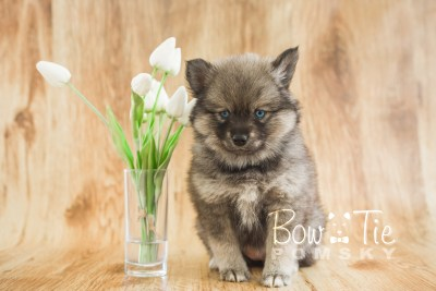 puppy19 BowTiePomsky.com Bowtie Pomsky Puppy For Sale Husky Pomeranian Mini Dog Spokane WA Breeder Blue Eyes Pomskies photo21