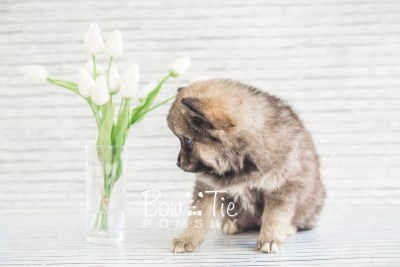 puppy19 BowTiePomsky.com Bowtie Pomsky Puppy For Sale Husky Pomeranian Mini Dog Spokane WA Breeder Blue Eyes Pomskies photo22
