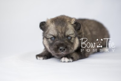 puppy19 BowTiePomsky.com Bowtie Pomsky Puppy For Sale Husky Pomeranian Mini Dog Spokane WA Breeder Blue Eyes Pomskies photo7