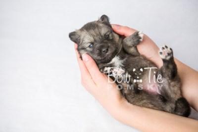 puppy19 BowTiePomsky.com Bowtie Pomsky Puppy For Sale Husky Pomeranian Mini Dog Spokane WA Breeder Blue Eyes Pomskies photo8