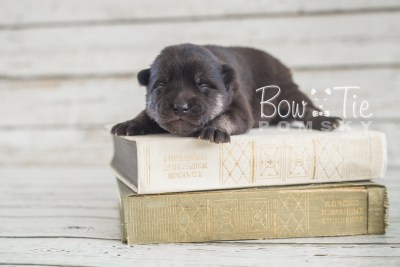 puppy20 BowTiePomsky.com Bowtie Pomsky Puppy For Sale Husky Pomeranian Mini Dog Spokane WA Breeder Blue Eyes Pomskies photo-2096