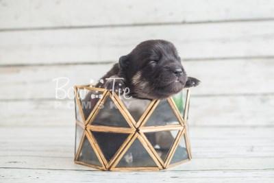 puppy20 BowTiePomsky.com Bowtie Pomsky Puppy For Sale Husky Pomeranian Mini Dog Spokane WA Breeder Blue Eyes Pomskies photo-2105