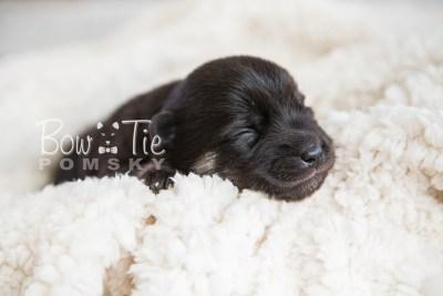 puppy20 BowTiePomsky.com Bowtie Pomsky Puppy For Sale Husky Pomeranian Mini Dog Spokane WA Breeder Blue Eyes Pomskies photo-2134