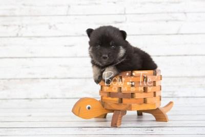 puppy20 BowTiePomsky.com Bowtie Pomsky Puppy For Sale Husky Pomeranian Mini Dog Spokane WA Breeder Blue Eyes Pomskies photo-7582