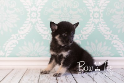 puppy20 week7 BowTiePomsky.com Bowtie Pomsky Puppy For Sale Husky Pomeranian Mini Dog Spokane WA Breeder Blue Eyes Pomskies photo-4405