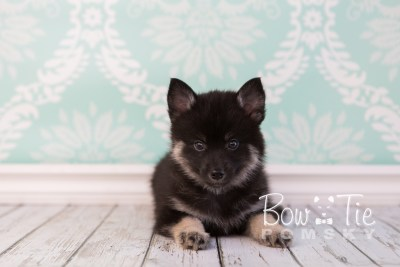 puppy20 week7 BowTiePomsky.com Bowtie Pomsky Puppy For Sale Husky Pomeranian Mini Dog Spokane WA Breeder Blue Eyes Pomskies photo-4410