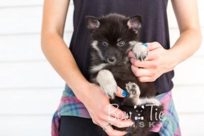 puppy20 week7 BowTiePomsky.com Bowtie Pomsky Puppy For Sale Husky Pomeranian Mini Dog Spokane WA Breeder Blue Eyes Pomskies photo-4687