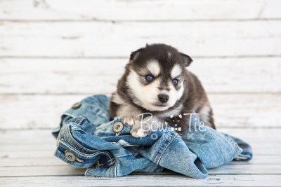 puppy21 BowTiePomsky.com Bowtie Pomsky Puppy For Sale Husky Pomeranian Mini Dog Spokane WA Breeder Blue Eyes Pomskies photo-7619