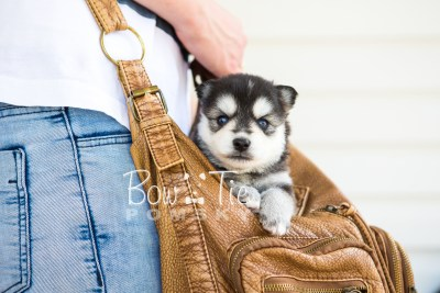 puppy21 BowTiePomsky.com Bowtie Pomsky Puppy For Sale Husky Pomeranian Mini Dog Spokane WA Breeder Blue Eyes Pomskies photo-7675