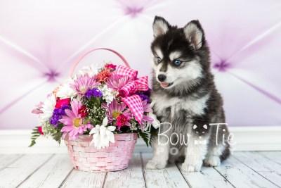 puppy21 BowTiePomsky.com Bowtie Pomsky Puppy For Sale Husky Pomeranian Mini Dog Spokane WA Breeder Blue Eyes Pomskies photo2
