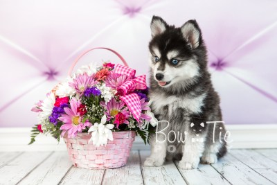 puppy21 BowTiePomsky.com Bowtie Pomsky Puppy For Sale Husky Pomeranian Mini Dog Spokane WA Breeder Blue Eyes Pomskies photo2