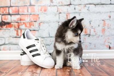 puppy21 BowTiePomsky.com Bowtie Pomsky Puppy For Sale Husky Pomeranian Mini Dog Spokane WA Breeder Blue Eyes Pomskies photo5