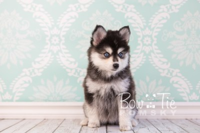 puppy21 BowTiePomsky.com Bowtie Pomsky Puppy For Sale Husky Pomeranian Mini Dog Spokane WA Breeder Blue Eyes Pomskies photo7