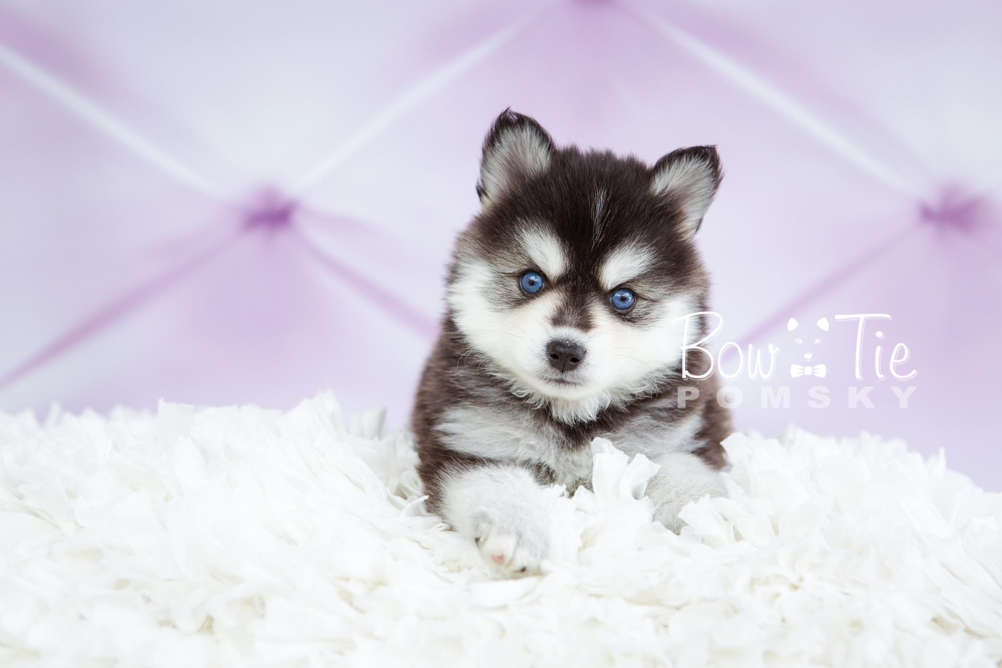 1st Gen Puppy 21 - Girl - Bowtie Pomsky LLC
