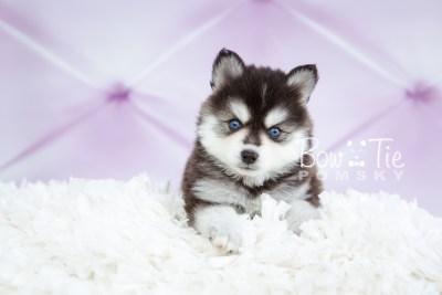 puppy21 week5 BowTiePomsky.com Bowtie Pomsky Puppy For Sale Husky Pomeranian Mini Dog Spokane WA Breeder Blue Eyes Pomskies photo-9182