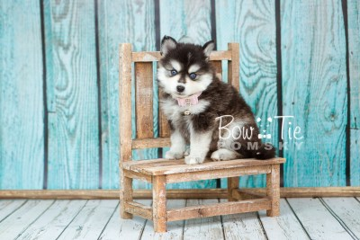 puppy21 week5 BowTiePomsky.com Bowtie Pomsky Puppy For Sale Husky Pomeranian Mini Dog Spokane WA Breeder Blue Eyes Pomskies photo-9263