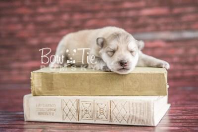 puppy22 BowTiePomsky.com Bowtie Pomsky Puppy For Sale Husky Pomeranian Mini Dog Spokane WA Breeder Blue Eyes Pomskies photo1