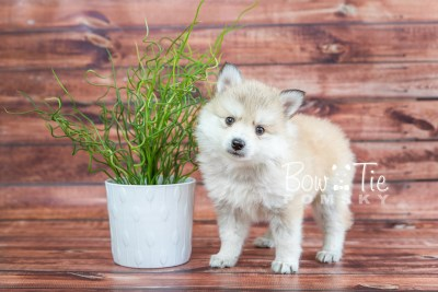 puppy22 BowTiePomsky.com Bowtie Pomsky Puppy For Sale Husky Pomeranian Mini Dog Spokane WA Breeder Blue Eyes Pomskies photo14