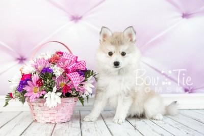 puppy22 BowTiePomsky.com Bowtie Pomsky Puppy For Sale Husky Pomeranian Mini Dog Spokane WA Breeder Blue Eyes Pomskies photo21