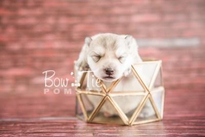 puppy22 BowTiePomsky.com Bowtie Pomsky Puppy For Sale Husky Pomeranian Mini Dog Spokane WA Breeder Blue Eyes Pomskies photo3