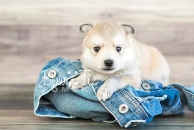 puppy22 BowTiePomsky.com Bowtie Pomsky Puppy For Sale Husky Pomeranian Mini Dog Spokane WA Breeder Blue Eyes Pomskies photo6