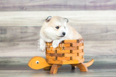 puppy22 BowTiePomsky.com Bowtie Pomsky Puppy For Sale Husky Pomeranian Mini Dog Spokane WA Breeder Blue Eyes Pomskies photo8