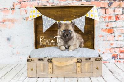 puppy23 BowTiePomsky.com Bowtie Pomsky Puppy For Sale Husky Pomeranian Mini Dog Spokane WA Breeder Blue Eyes Pomskies photo18