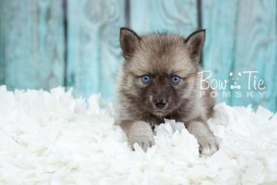 puppy23 BowTiePomsky.com Bowtie Pomsky Puppy For Sale Husky Pomeranian Mini Dog Spokane WA Breeder Blue Eyes Pomskies photo19