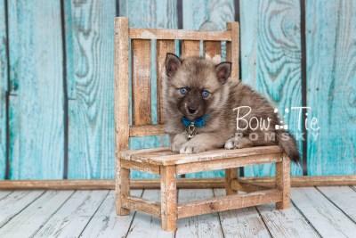 puppy23 BowTiePomsky.com Bowtie Pomsky Puppy For Sale Husky Pomeranian Mini Dog Spokane WA Breeder Blue Eyes Pomskies photo20