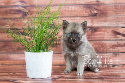 puppy23 BowTiePomsky.com Bowtie Pomsky Puppy For Sale Husky Pomeranian Mini Dog Spokane WA Breeder Blue Eyes Pomskies photo21