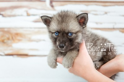 puppy23 BowTiePomsky.com Bowtie Pomsky Puppy For Sale Husky Pomeranian Mini Dog Spokane WA Breeder Blue Eyes Pomskies photo24