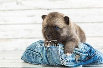 puppy23 BowTiePomsky.com Bowtie Pomsky Puppy For Sale Husky Pomeranian Mini Dog Spokane WA Breeder Blue Eyes Pomskies photo6