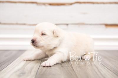 puppy24 week2 BowTiePomsky.com Bowtie Pomsky Puppy For Sale Husky Pomeranian Mini Dog Spokane WA Breeder Blue Eyes Pomskies photo-photo_fb-5