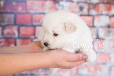 puppy24-week4-bowtiepomsky-com-bowtie-pomsky-puppy-for-sale-husky-pomeranian-mini-dog-spokane-wa-breeder-blue-eyes-pomskies-photo_fb-6