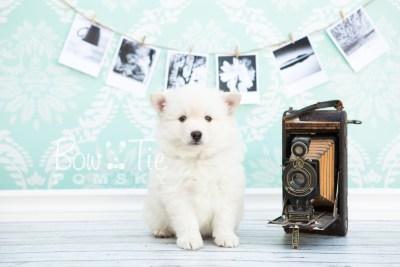 puppy24-week6-bowtiepomsky-com-bowtie-pomsky-puppy-for-sale-husky-pomeranian-mini-dog-spokane-wa-breeder-blue-eyes-pomskies-photo_fb-4