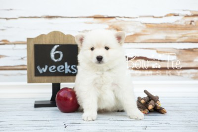 puppy24-week6-bowtiepomsky-com-bowtie-pomsky-puppy-for-sale-husky-pomeranian-mini-dog-spokane-wa-breeder-blue-eyes-pomskies-photo_fb-5