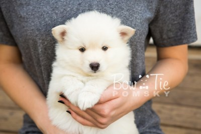 puppy24-week6-bowtiepomsky-com-bowtie-pomsky-puppy-for-sale-husky-pomeranian-mini-dog-spokane-wa-breeder-blue-eyes-pomskies-photo_fb-7